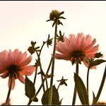 flowers_and_sky